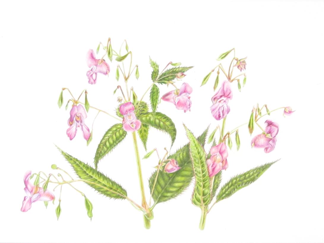 Himalayan Balsam