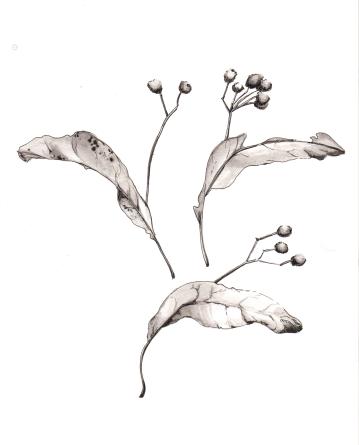 Linden Seed Pods