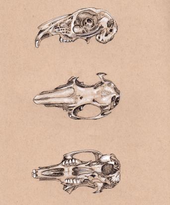 Decayed Wild Rabbit Skull Study