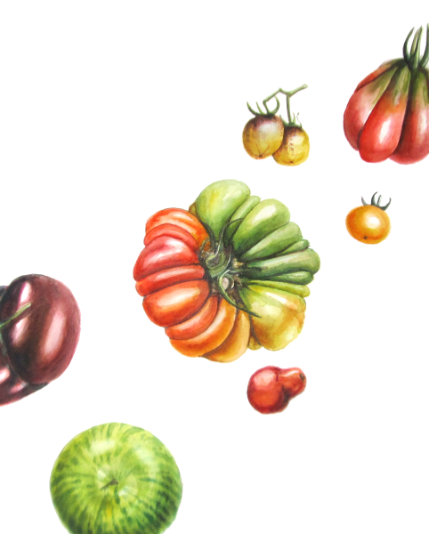 Heirloom Tomatoes - Watercolour on Paper by Lee Angold